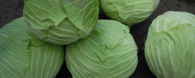 包菜葉子發黃還能吃嗎