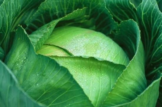 包菜叶子发黄还能吃吗