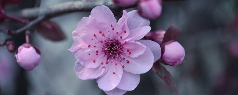 桃花的介绍桃花的特点