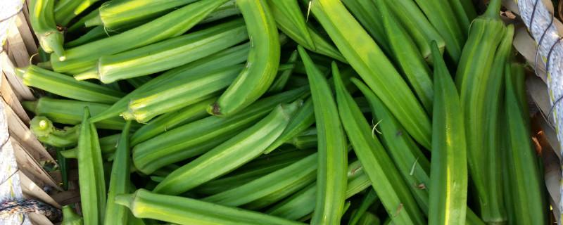 秋葵播种时间和方法