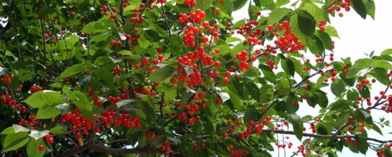 院里为什么不栽樱桃树
