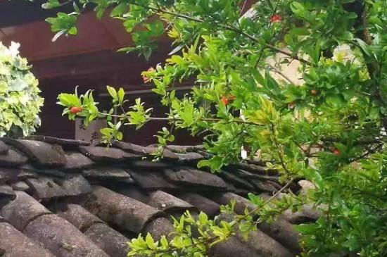 院子里种石榴树的禁忌