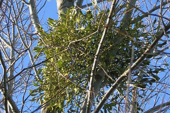 寄生树有什么功效作用