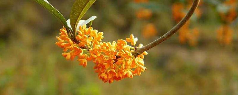 桂花树的外形特征描写