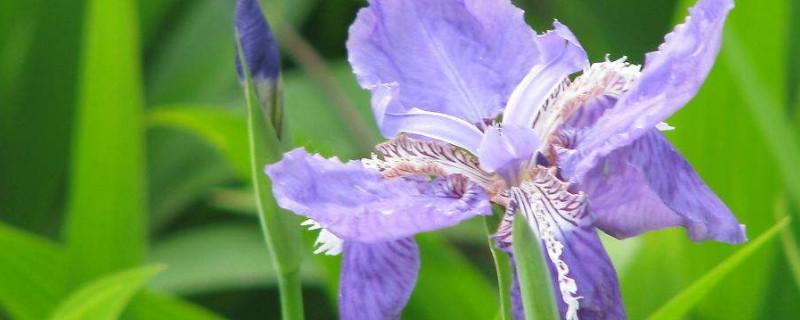 鸞尾花和鳶尾花一樣嗎