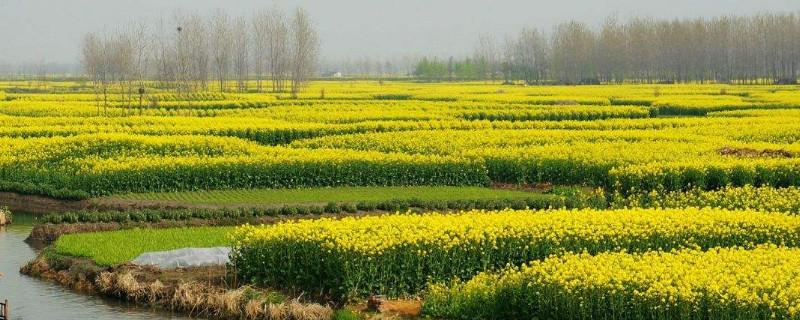 中國四大油菜花海在哪
