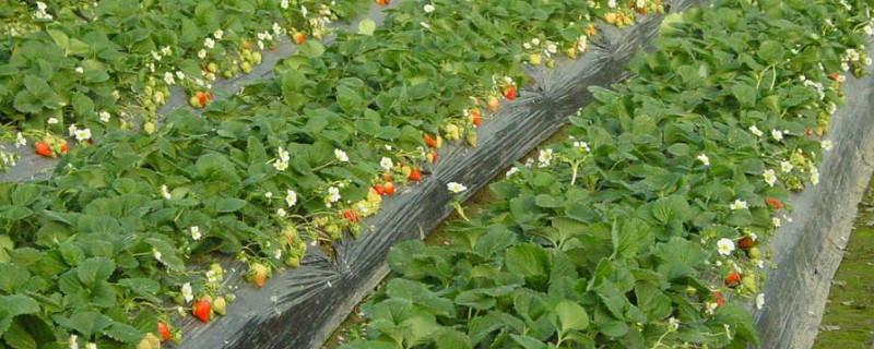 草莓什么时候种合适?怎样种?