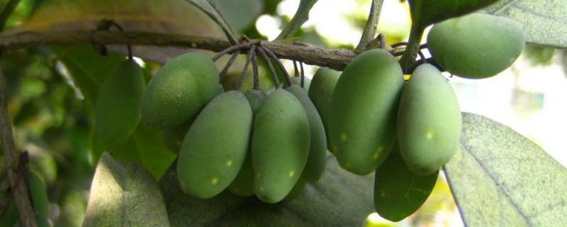木犀的果子有什么用
