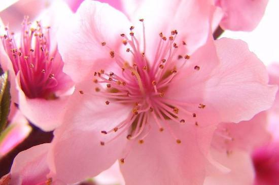 桃花的花瓣和萼片的数量