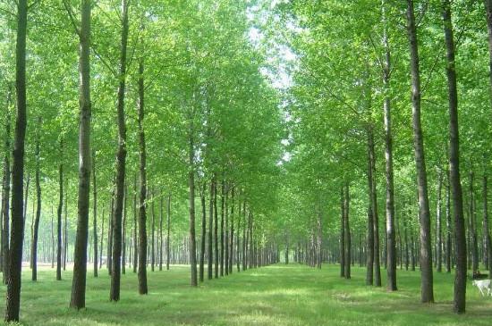杨树冬季可以施肥吗