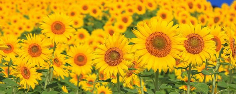向日葵一般送几朵