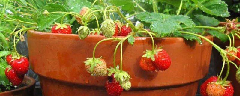 草莓嫁接果树种植