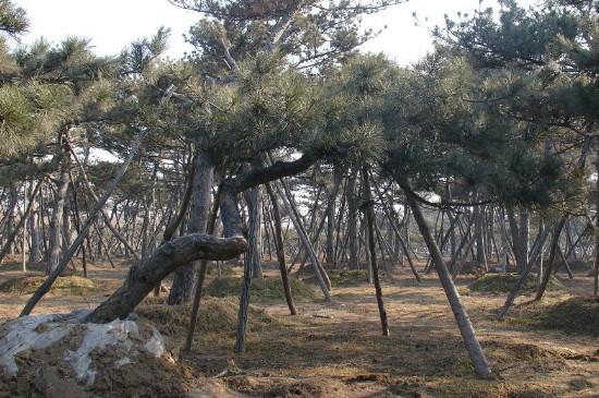 大树移植的5个步骤