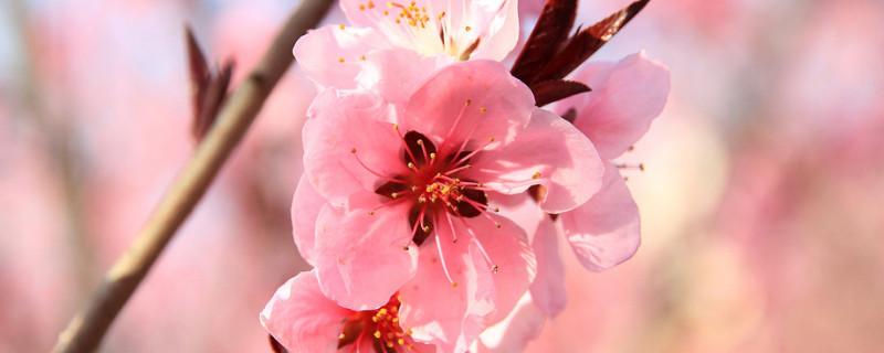 桃花象征什么精神