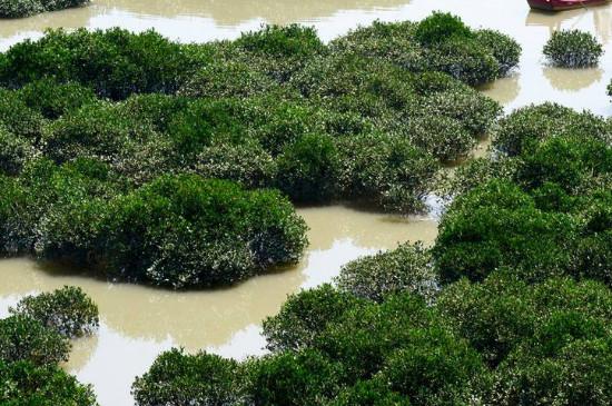 红树林为什么叫红树林