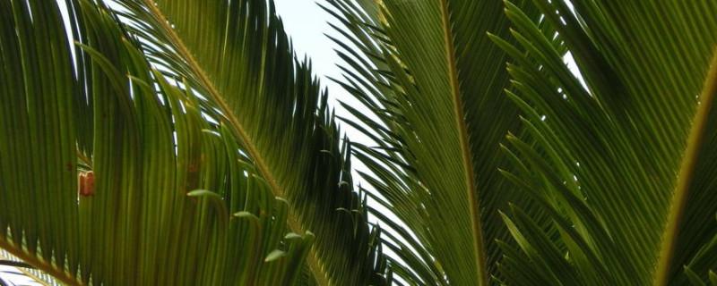 铁树叶半枝莲白花蛇舌草的功效