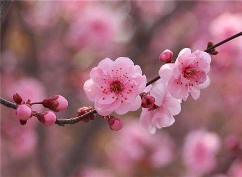 桃花的养护