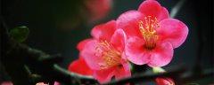 海棠花拥有哪些寓意