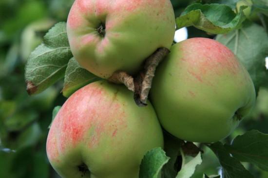 苹果发酵几天可以浇花
