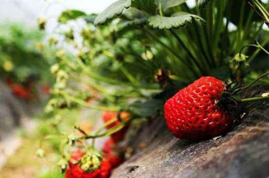 草莓可以长在树上吗