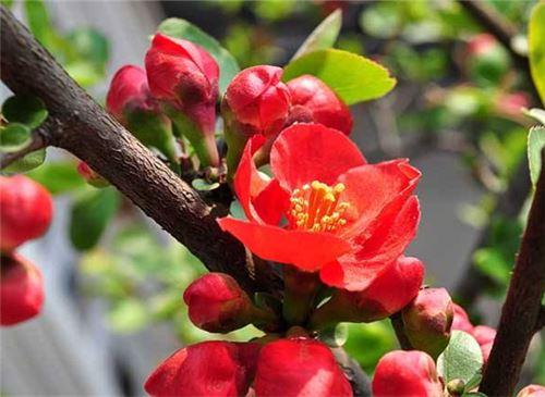 如何养好海棠花