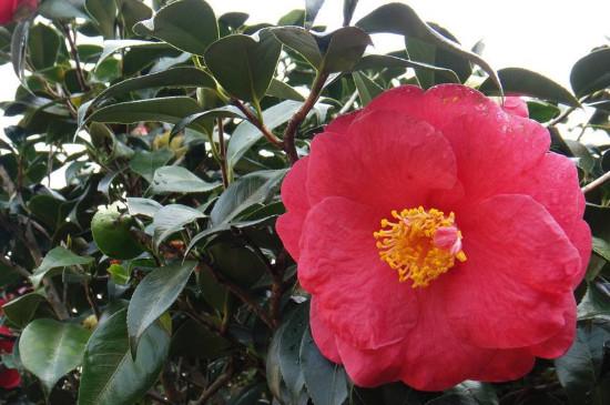 茶花从露色到开花需要几天