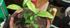 栀子花种植与养护技巧
