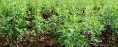 艾草的种植方法