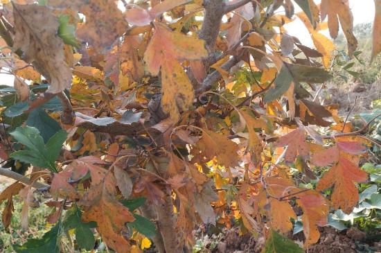 山楂树叶子发黄怎么治