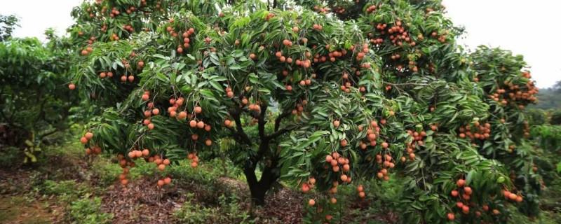 荔枝树每年施肥time