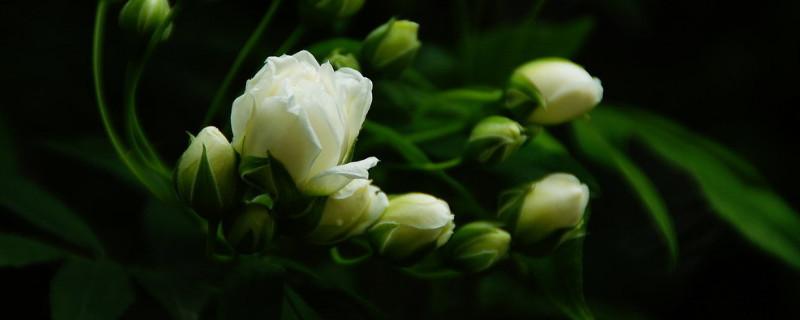 木香花什么時候開花
