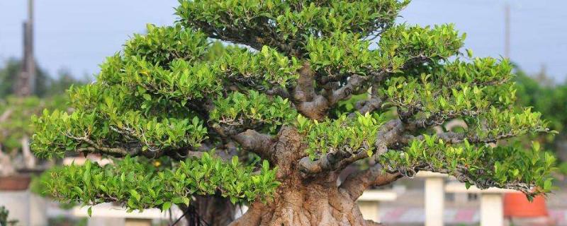 怎么让榕树的主干发芽