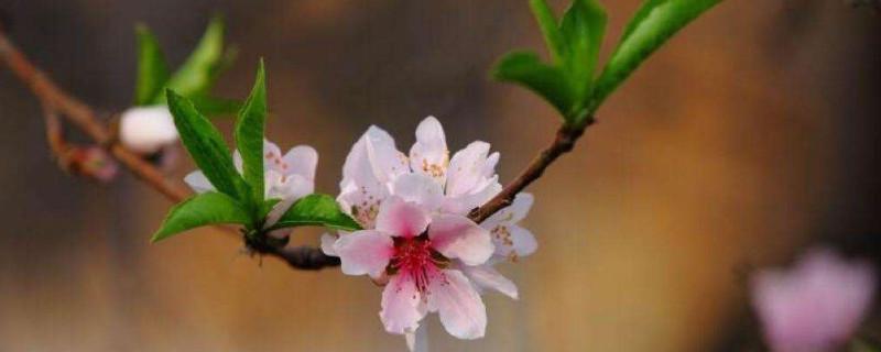 桃花象征着什么品格