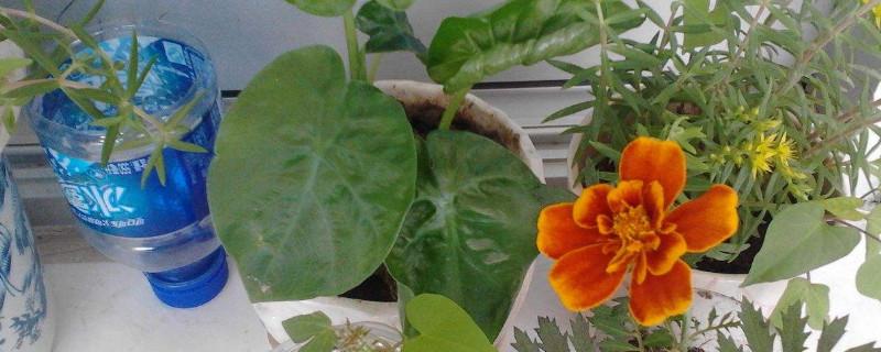 家里養盆栽芋頭的寓意