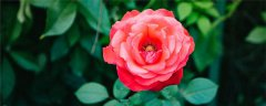月季花的養殖方法