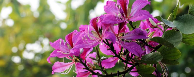 紫金花和紫荆花区别