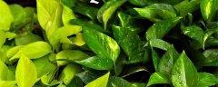 绿萝叶子发黄是什么原因