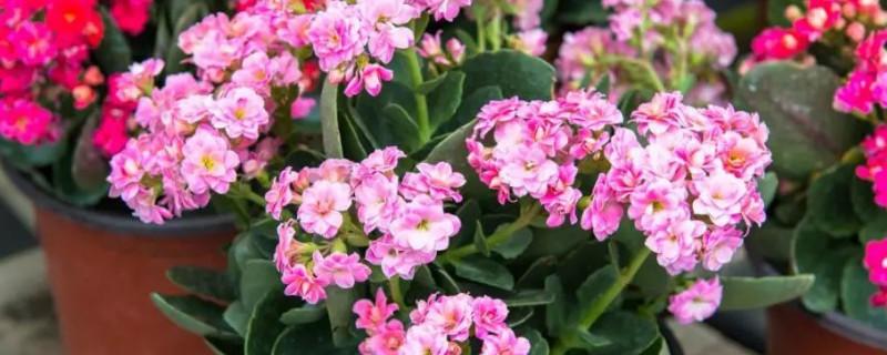 长寿花开花期间怎么浇水