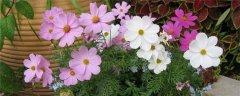 波斯菊的花语