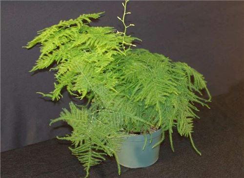 文竹的养殖方法和注意事项
