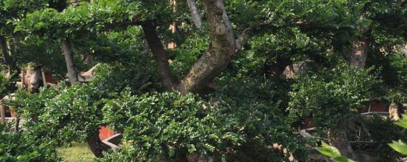 盆景榆樹的養殖方法和注意事項