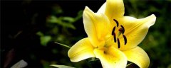 百合花的养殖方法和注意事项