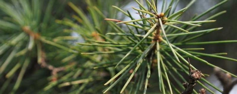 松树枝条能插活吗