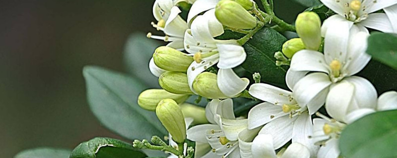 萬里香花養殖方法