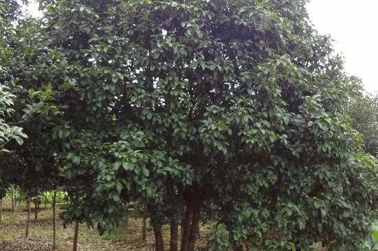 3米多高的桂花树如何短截