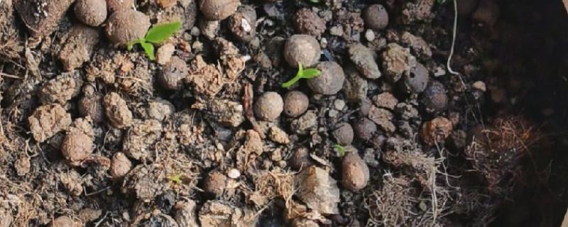 沃柑种子怎么发芽