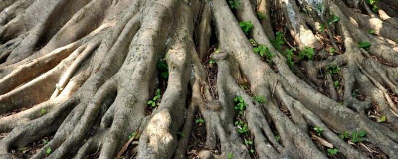 锯树后树根怎么去除