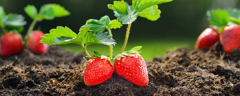 草莓土壤怎么调配