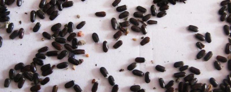 薰衣草种子怎么种植