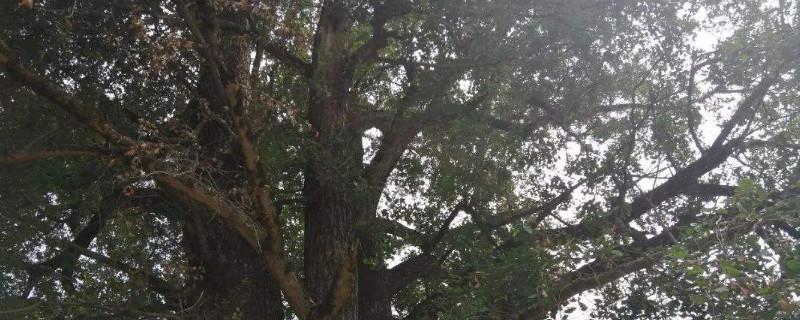 怎样防止大树被风吹倒